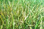 Lawn Diseases - Rusts